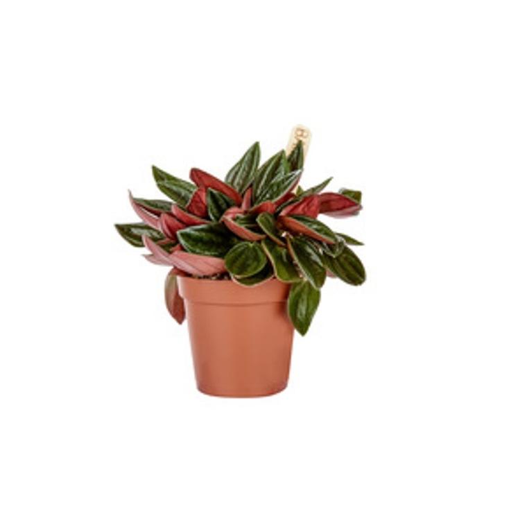 Peperomia Rosso plante baby en pot Ø 6 cm 288455
