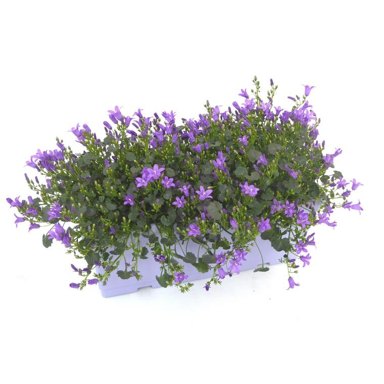 Campanule Addenda. La jardinière de 40 cm