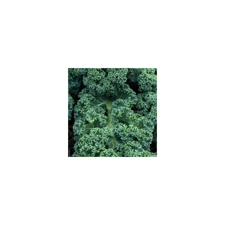 Chou Kale. Le pot de 10,5 cm 290174