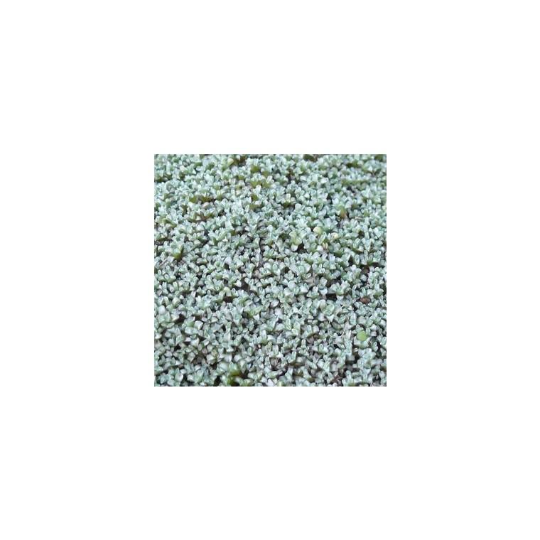 Raoulia australis gris en pot de 1 L 290431