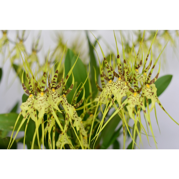 Orchidée Brassia Eternal Wind 296289
