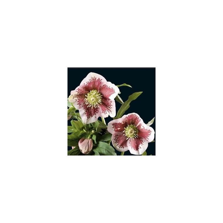 Helleborus Double Picotee. Le pot de 1 litre 296296