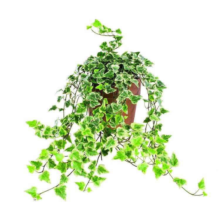 hedera ou lierre dans son pot en terre 14 cm plantes. Black Bedroom Furniture Sets. Home Design Ideas