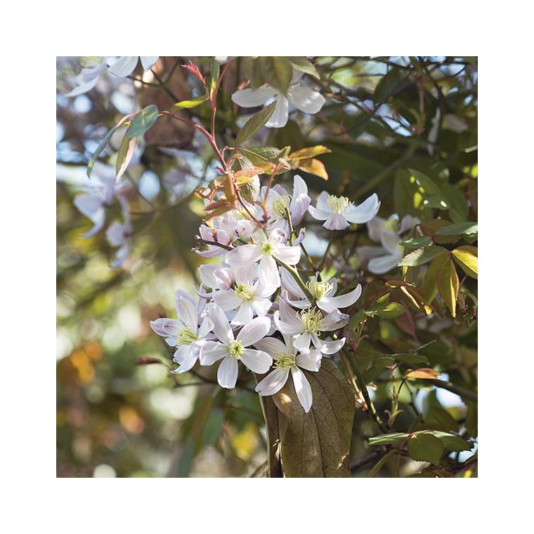 Clématite d'Armand Apple Blossom Le pot de 3 litres 297388