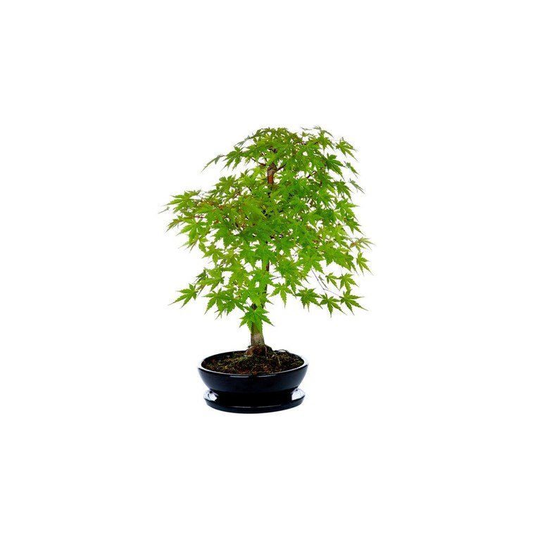 Bonsai Acer Palmatum Deshojo 298587