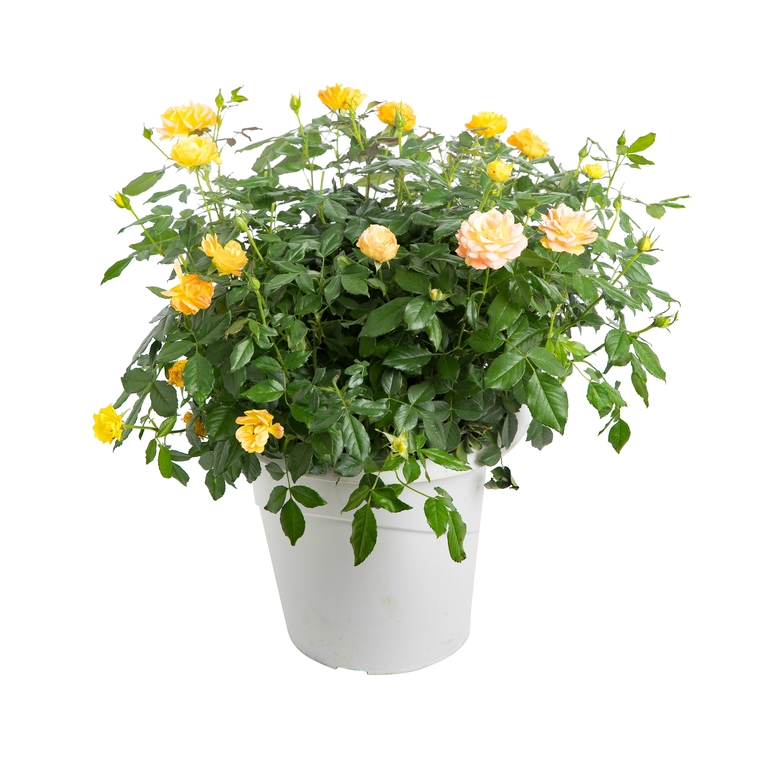 Rosier Buisson Miniature. Le pot de 3 litres 298946