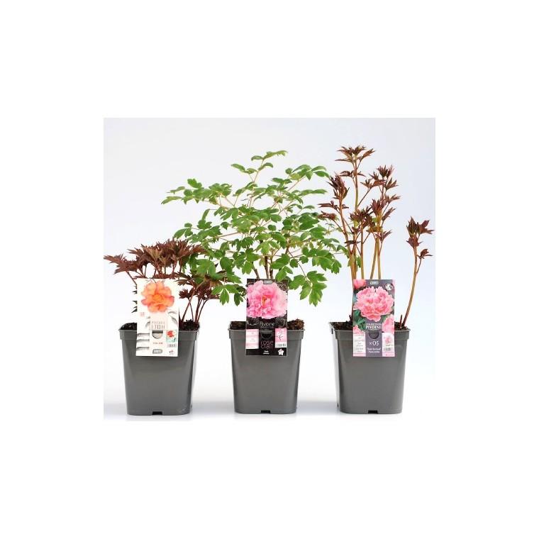 Paeonia Arbustive. Le pot de 5 litres 298954