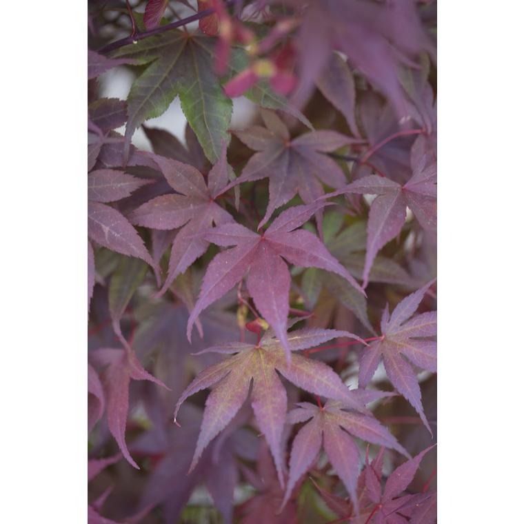 Erable Du Japon Acer Palmatum Bloodgood Le Pot De 7 Litres