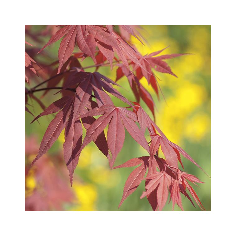érable Du Japon Fire Glow Pot De 50l Plantes Nos Produits Botanic