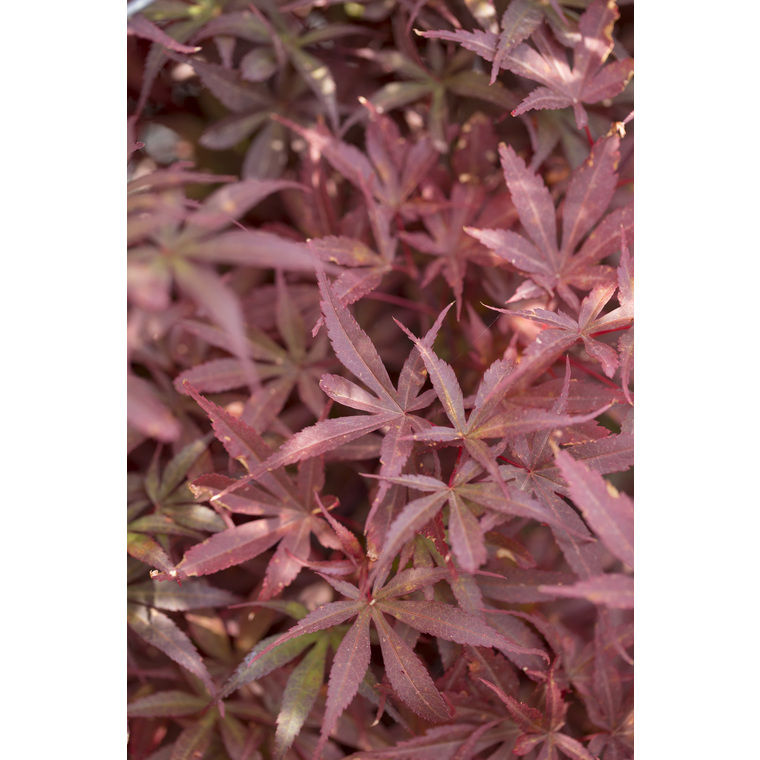 Acer Palmatum Skeeters Broom Rouge Pot De 3l Erables Jardin Botanic