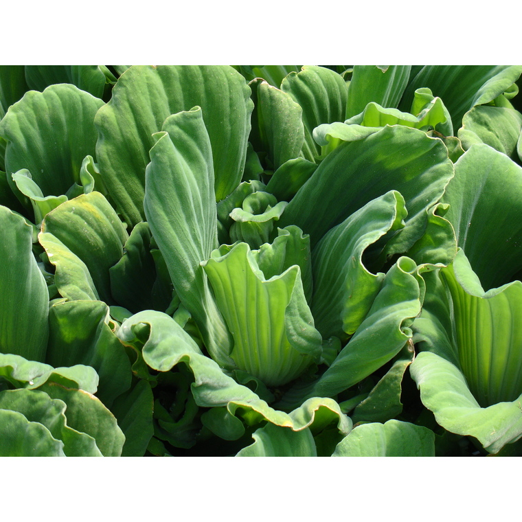 Racines nues de salade d 39 eau pistia stratiotes plantes - Plantes bassin de lagunage aixen provence ...