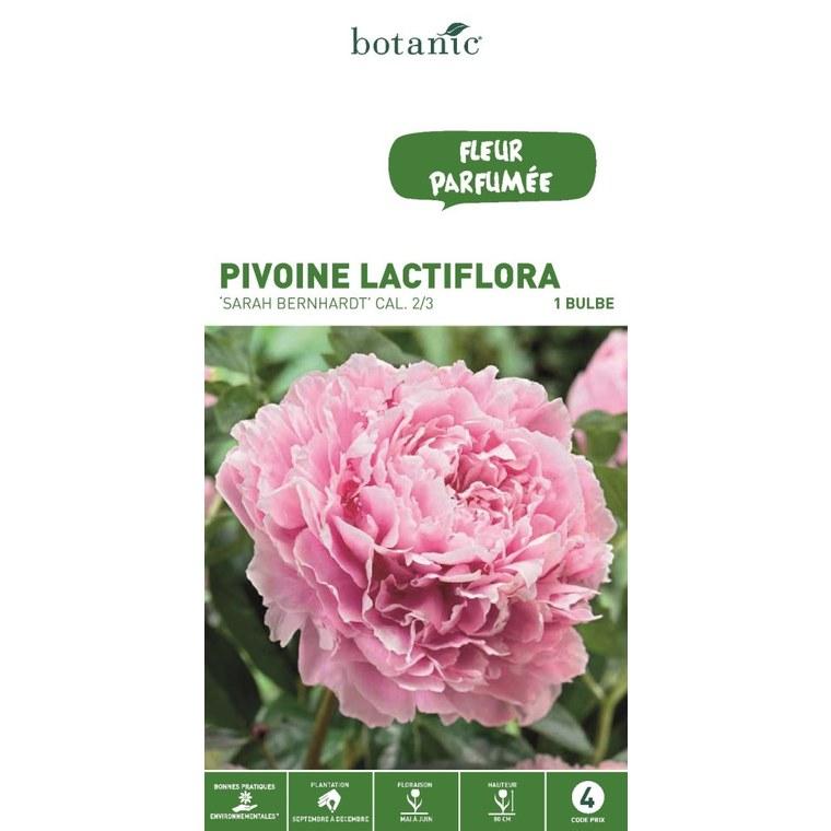 Bulbe de Pivoine Sarah Bernhardt rose calibre 2/3 : Bulbes ...