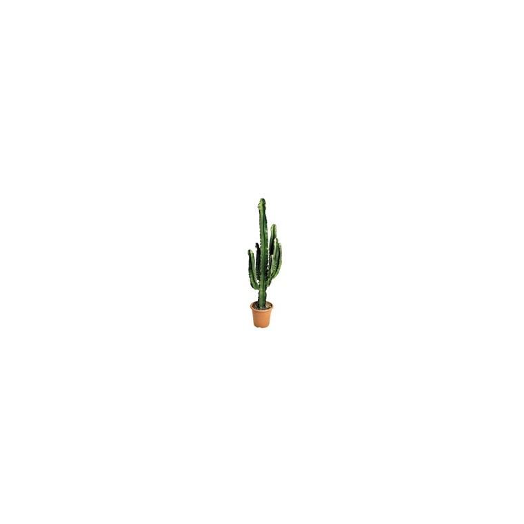 cactus euphorbe prix. Black Bedroom Furniture Sets. Home Design Ideas
