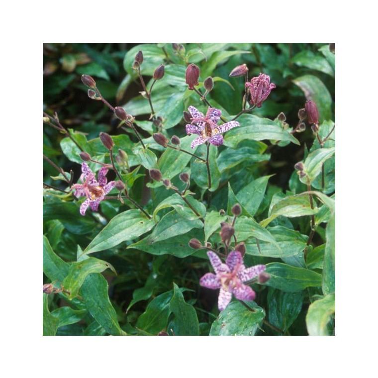 Tricyrtis rose en pot de 1,6 L : Plantes vivaces jardin - botanic®