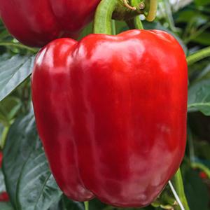 Poivron rouge - Prix au kg 300945