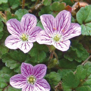 Erodium Bishop. Le pot de 9x9 cm 302364