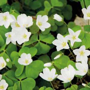 Oxalis trèfle à 4 feuilles. Le pot de 9x9 cm 302421