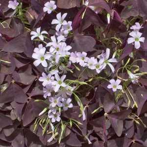 Oxalis trèfle à 4 feuilles. Le pot de 9x9 cm 302518