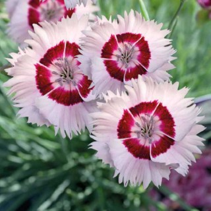 Dianthus Nain Cherry Daiquiri. Le pot de 9x9 cm 303482