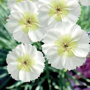 Dianthus Nain Mojito. Le pot de 9x9 cm 303489