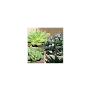 Plantes grasses variées en pot de 9 cm 304495