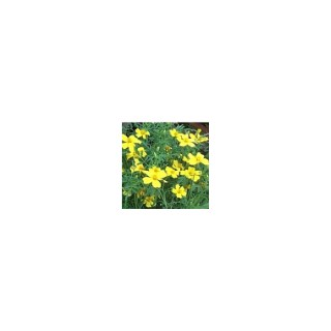 Œillet d'Inde à petites fleurs multicolore en pot de 10,5 cm 312413