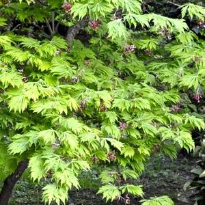 Acer Japonicum Aconitifolium – Pot de 50L 308416