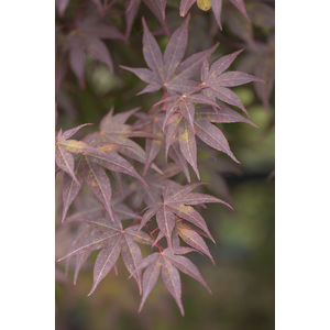 Acer Palmatum atropupureum rouge pot de 3L 308422
