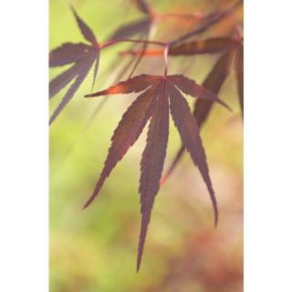 Acer Palmatum atrolineare rouge pot de 3L 308492