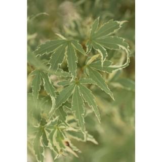 Acer Palmatum butterfly vert pot de 30L 308774