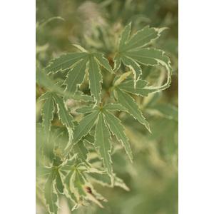 Acer Palmatum butterfly vert pot de 80L 308824