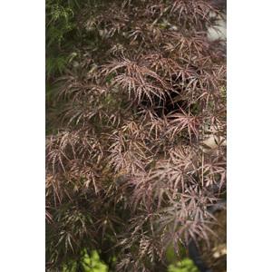 Acer Palmatum crimson queen rouge pot de 80L 308968