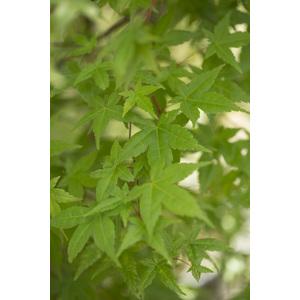 Acer Palmatum deshojo rouge pot de 80L 308980
