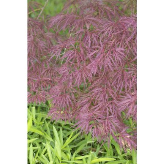 Acer Palmatum dissectum garnet rouge pot de 80L 308993