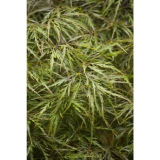 Acer Palmatum dissectum ornatum vert pot de 15L 309000