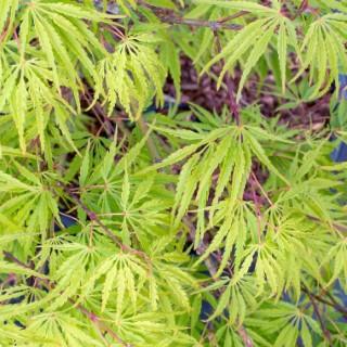 Acer Palmatum Dissectum Palmatifidium – Pot de 7L 309005