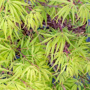 Acer Palmatum Dissectum Palmatifidium vert en pot de 110 L 309010