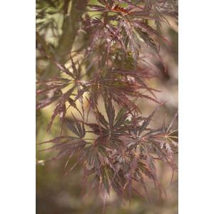 Acer Palmatum dissectum tamuke rouge pot de 80L 309016
