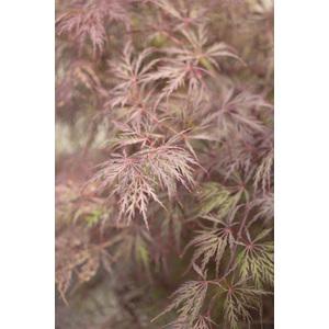 Acer Palmatum Inaba Shidare rouge pot de 30L 309032