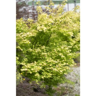 Acer Palmatum orange dream Jaune pot de 80L 309045