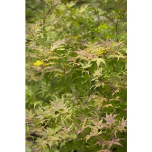 Acer Palmatum Reticulatum red vert pot de 3L 309053
