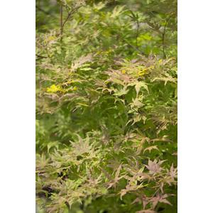 Acer Palmatum Reticulatum red vert pot de 7L 309054