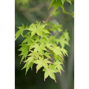 Acer Palmatum Sango kaku vert pot de 50L 309063