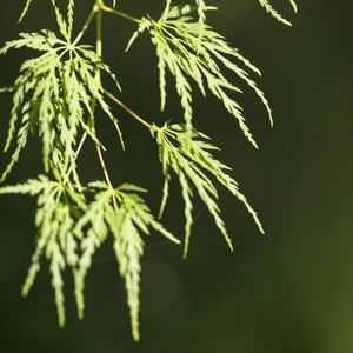 Acer Palmatum Seiryu vert pot de 3L 309070