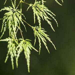 Acer Palmatum Seiryu vert pot de 110L 309076
