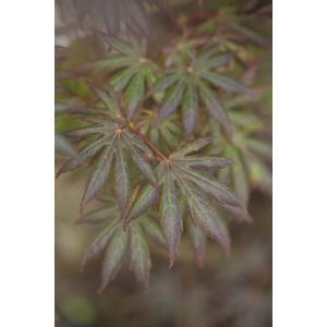 Acer Palmatum Trompenburg rouge pot de 3L 309082