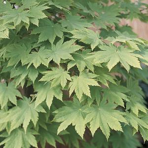 Acer Palmatum Vitifolium – Pot de 50L 309314