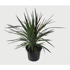 Yucca Aloifolia (Yucca à feuilles d'aloès) 30/40 en pot de 5 L vert 309737