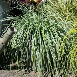 Carex Oshimensis Everest en pot de 2 L 309867