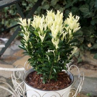 Euonymus Japonicus Paloma Blanca Lankveld03 cov blanc en pot de 2 L 309870